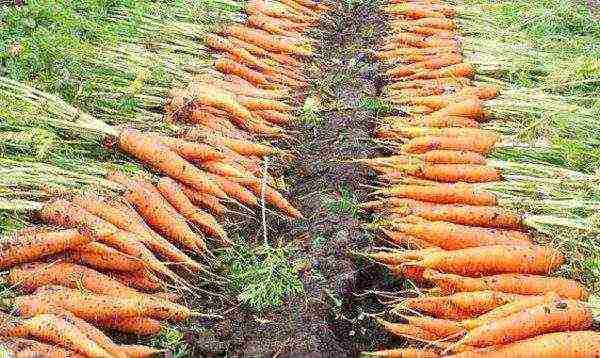 Как бороться с морковной мухой препаратами и народными средствами