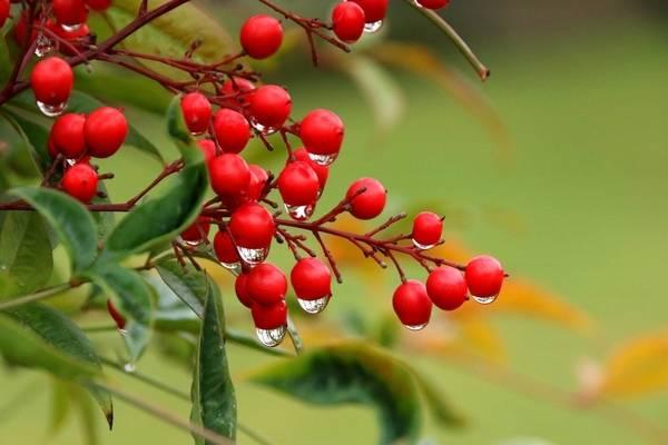 Бузина (черная, красная): лечебные свойства и противопоказания растения, применение