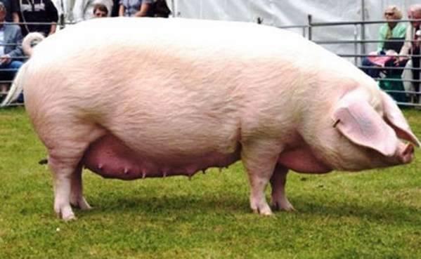 Сальные породы свиней – содержание и кормление, перспективность 2020