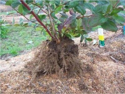 Выращивание голубики из семян в домашних условиях — ягоды грибы