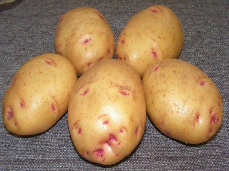 Описание картофеля молли