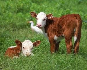 Выносливая и неприхотливая порода коров родом из англии — «герефордская»