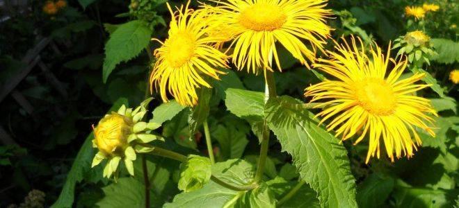 Рододендрон кавказский лечебные свойства для мужчин