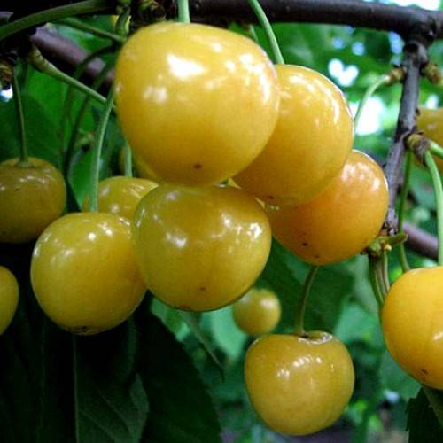 Чёрная красавица для вашего сада — вишня сорта россошанская