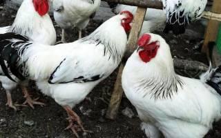 Изучаем самую популярную породу кур в россии — первомайскую
