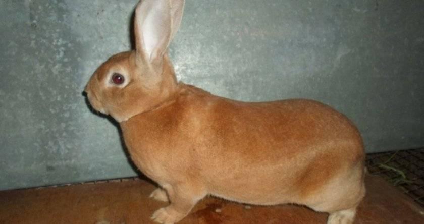 Кролики породы рекс: уход и содержание