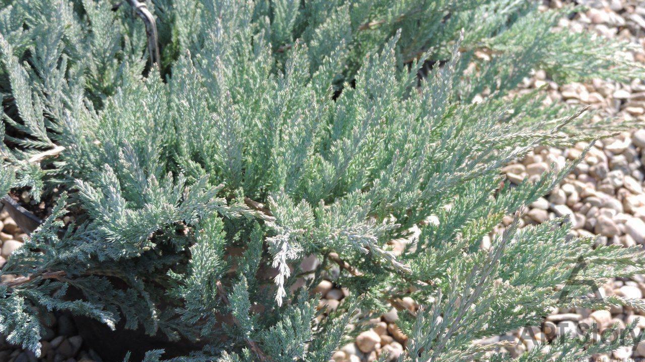 Можжевельник «блю альпс»: описание, рекомендации по выращиванию и размножению