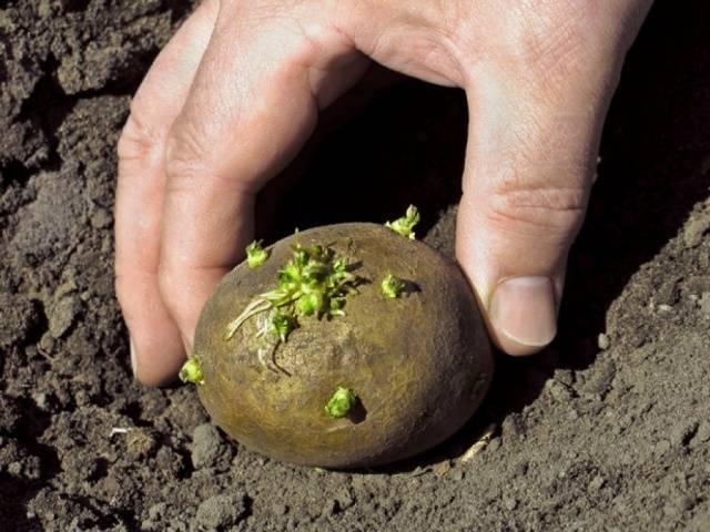 Подходящая температура для посадки и роста картофеля