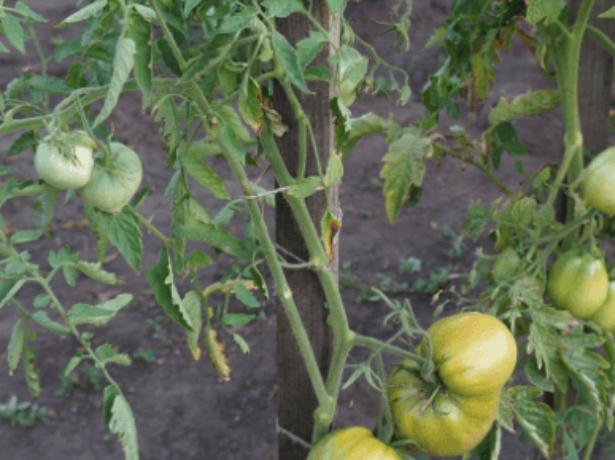 Томат «евпатор»: характеристика и описание сорта, посадка, выращивание и уход