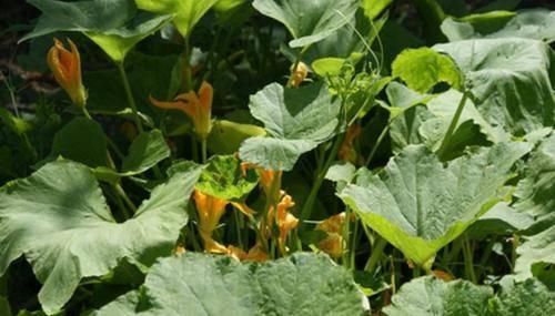 Как поливать тыкву в открытом грунте: пошаговая инструкция для начинающих огородников