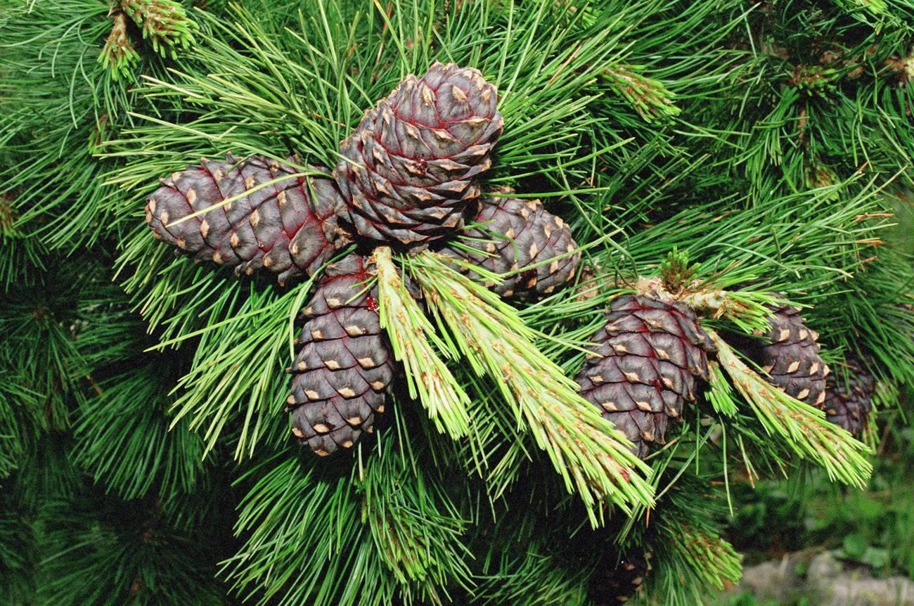 Где и на каком дереве растут кедровые орехи