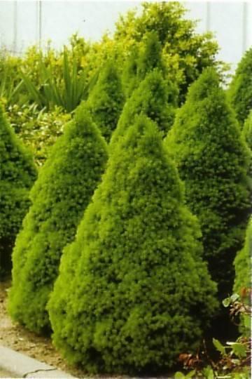Ель коника: описание вида, особенности выращивания и ухода в домашних условиях. 115 фото вариантов применения и посадки