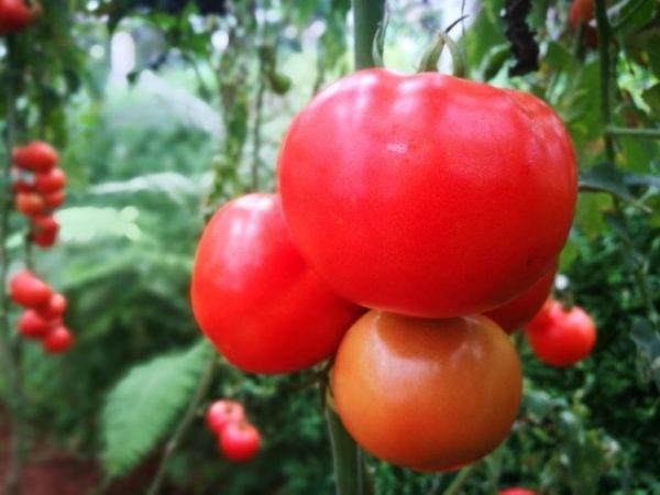Томат толстый джек: отзывы, фото, урожайность