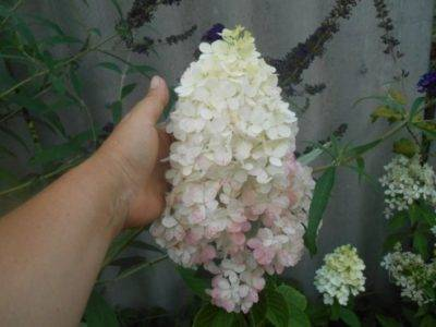 Гортензия сандей фрайз метельчатая: фото и описание, уход и посадка растения