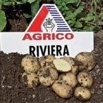 Картофель ривьера: 8 особенностей и 11 советов по посадке и уходу