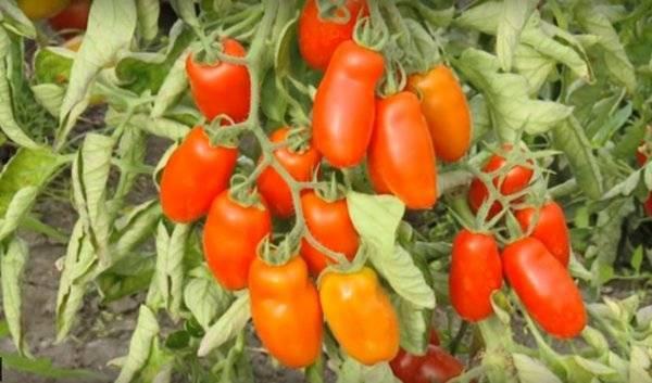 Крупноплодные помидоры «гулливер»