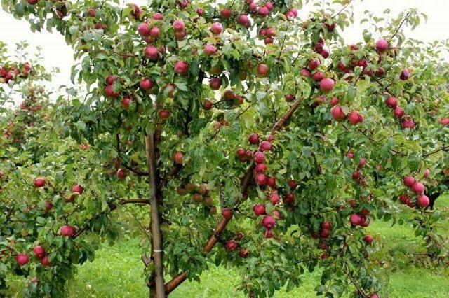 Яблоня «мельба»: описание сорта, фото и отзывы