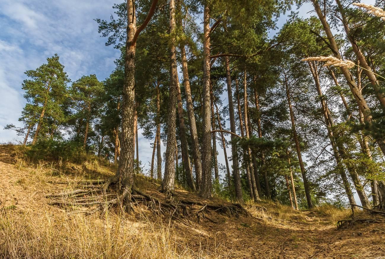 Сосна обыкновенная, или сосна лесная — pinus sylvestris | russianpermaculture.ru