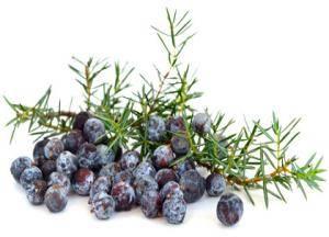Можжевельник лечебные свойства и противопоказания ягоды можжевельника