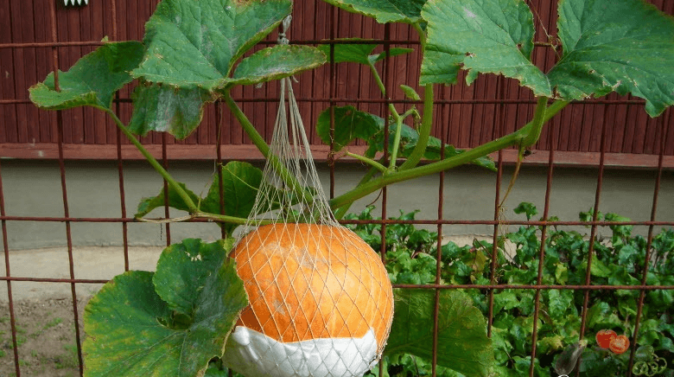 Как пасынковать и прищипывать тыкву в открытом грунте – схемы