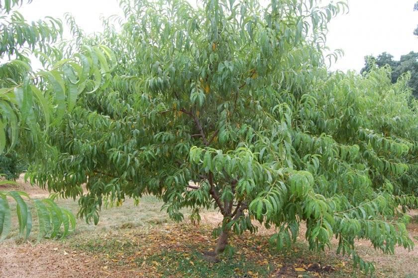 Особенности выращивания и характеристика персика сорта кондор