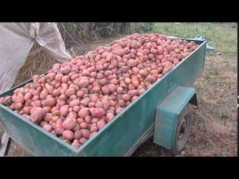 Описание сорта картофеля славянка