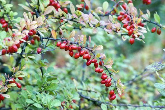 Как использовать пользу кизила и где можно применить свойства этой ягоды?