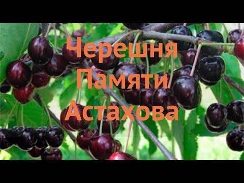 Лучшие сорта черешни, в том числе самоплодные для средней полосы россии