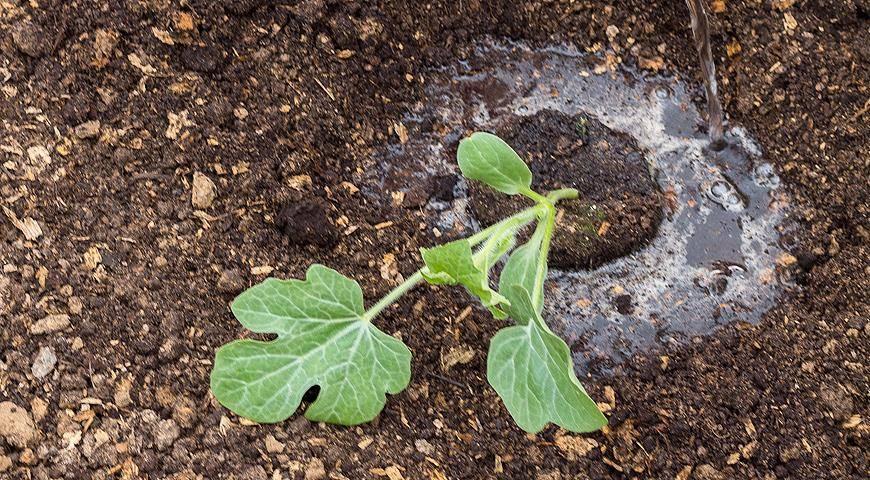 Выращивание рассады дыни от обработки семян до высадки на грядку