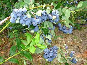 Голубика «патриот» — описание, характеристика, выращивание