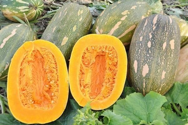 Описание сорта тыквы матильда, особенности выращивания и ухода
