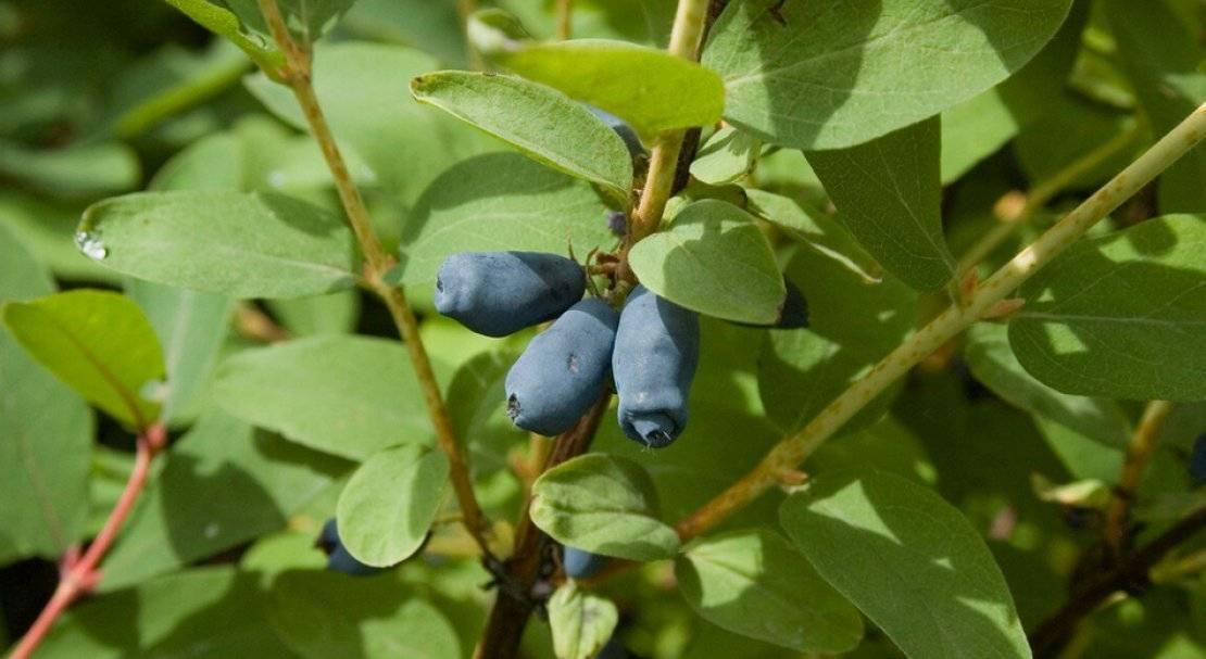 Жимолость съедобная сладкая синий утёс— основные характеристики