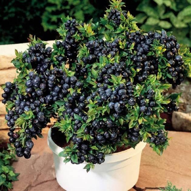 Правила посадки и выращивания садовой черники