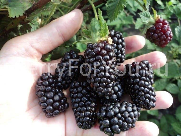Ежевичный сорт полар — описание, особенности выращивания, отзывы