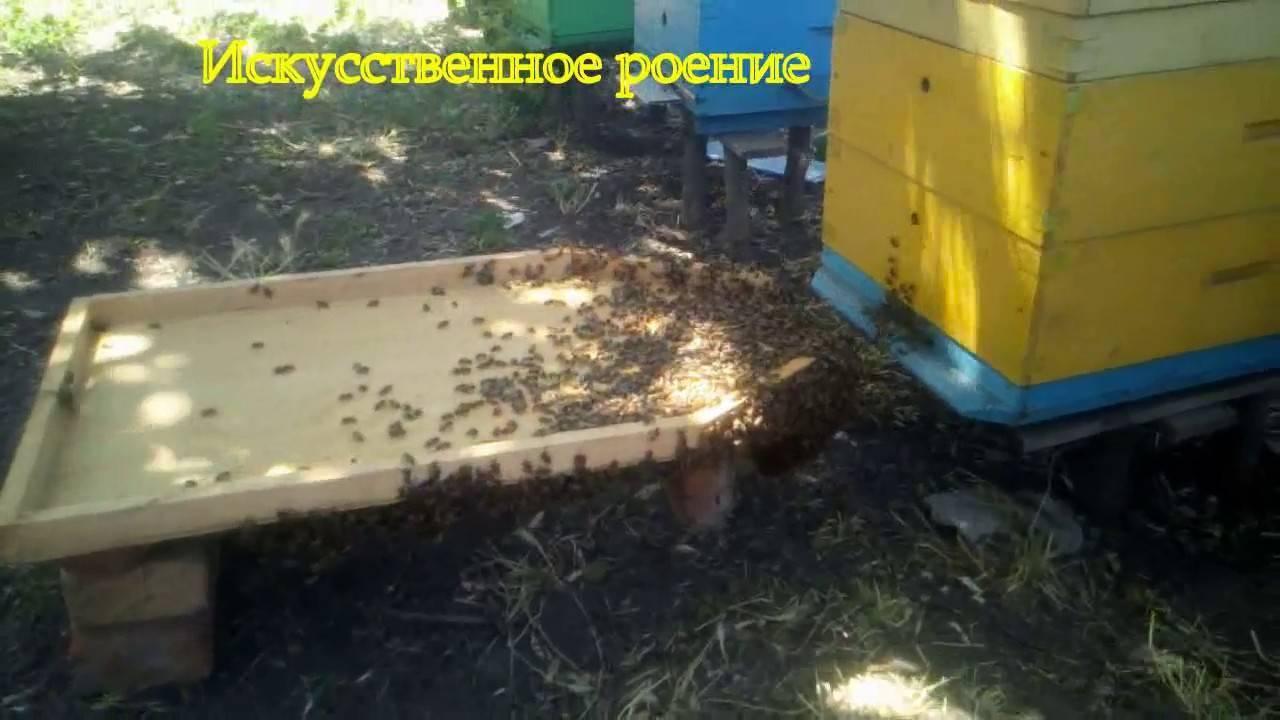 Чем чревато роение пчел и как с ним бороться?