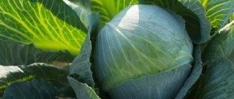 Сорт капусты белоснежка: описание, агротехника выращивания