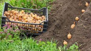 Сорт картофеля «гранд» – описание и фото