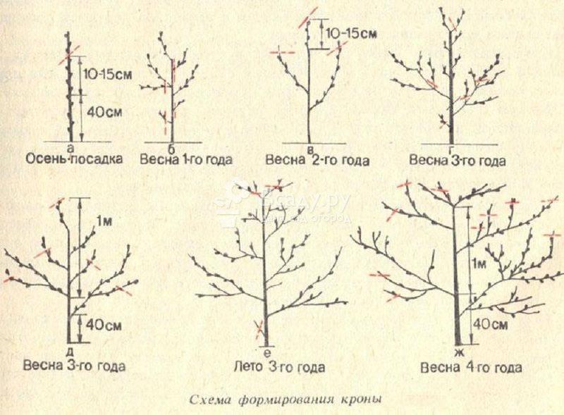 Обрезка абрикоса: весной, летом, осенью