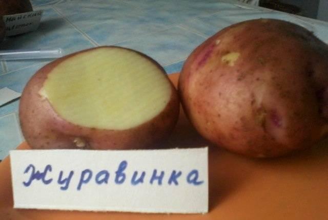 Журавушка картофель: описание сорта и характеристика