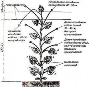 Удалите нижние листья огурцов — получите больше урожая