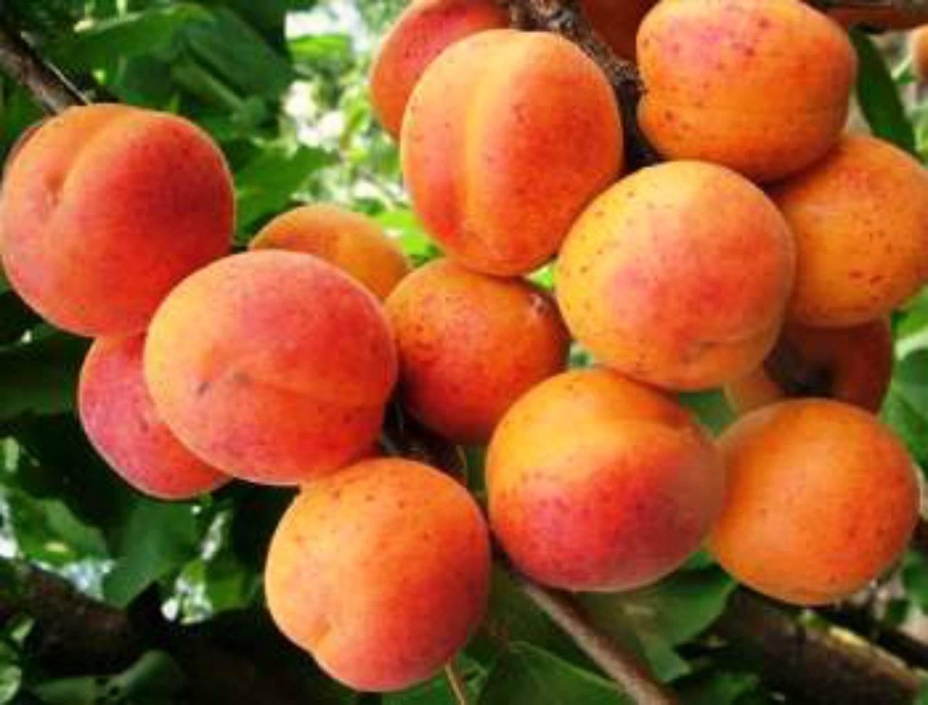 Почему не плодоносит абрикос что делать