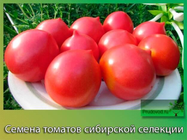 Самые урожайные семена помидор сибирской селекции