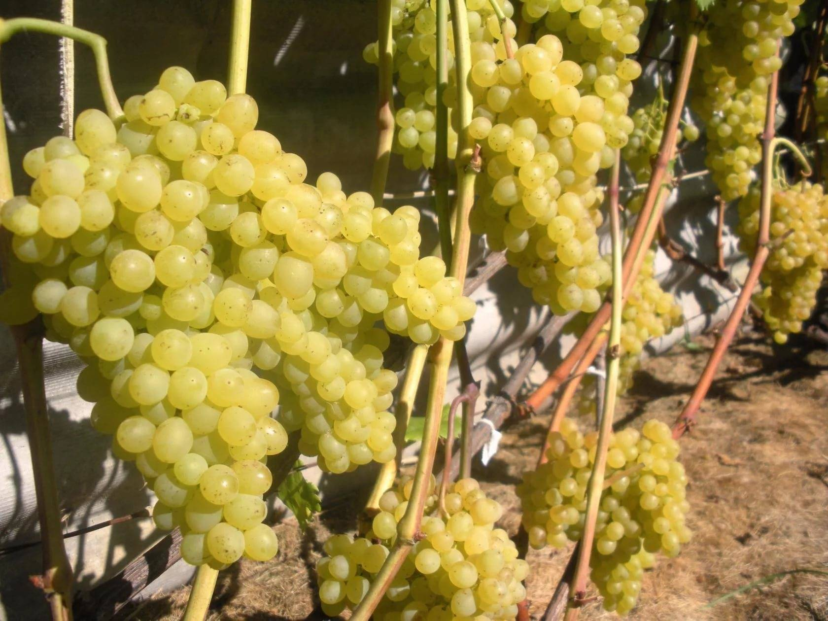Характеристика винограда кишмиш 342