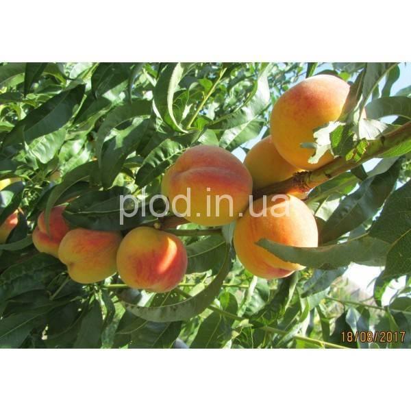 Персик фаворит — описание сорта и отзывы садоводов