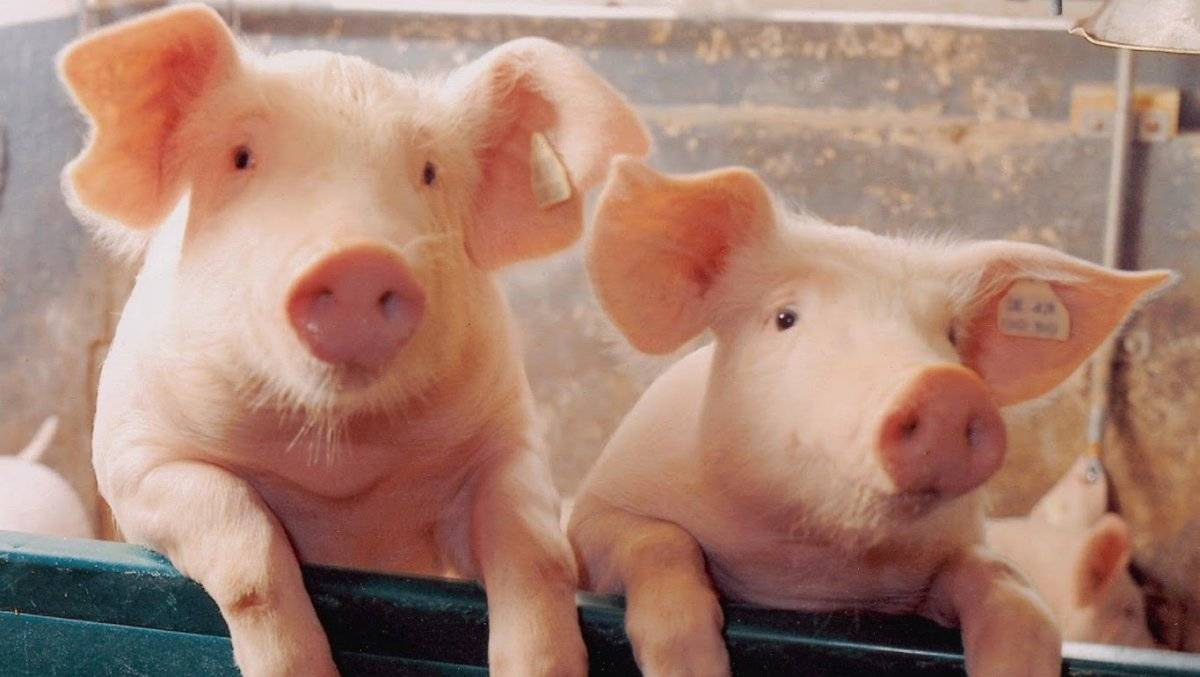 Каким способом узнать сколько весит свинья