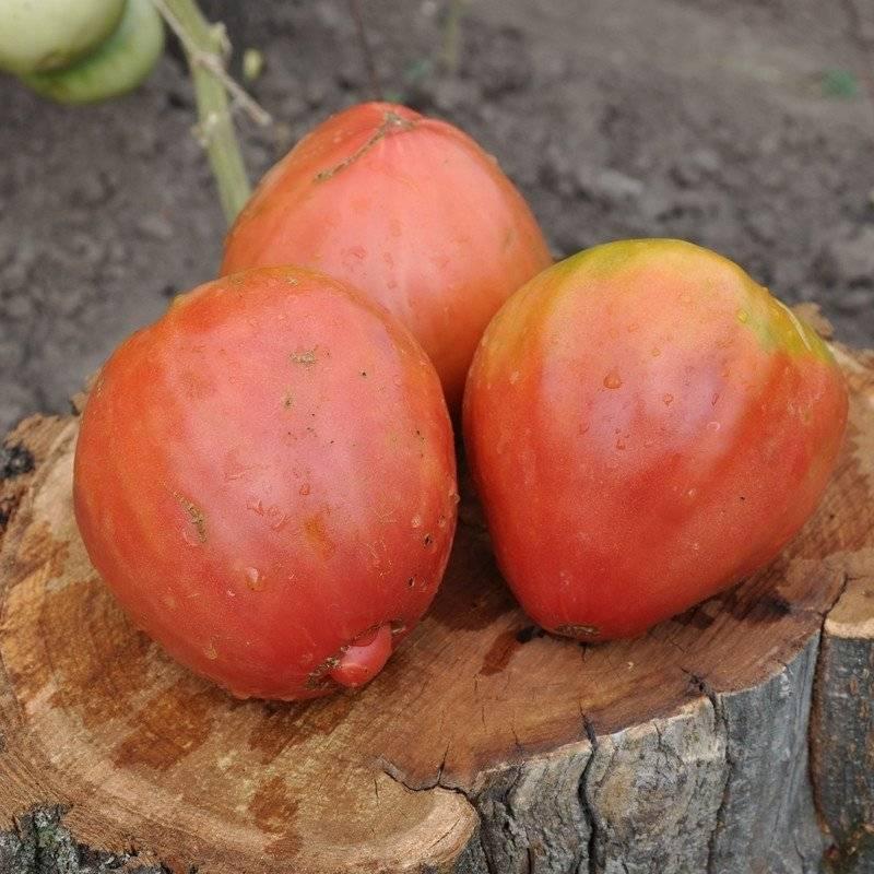 Томат африканская лиана: характеристика и описание сорта, фото, отзывы, урожайность