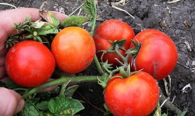 Отличные томаты «бони мм»: описание сорта, достоинства и недостатки, выращивание