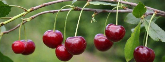 Сорт вишни ашинская - общая информация - 2020