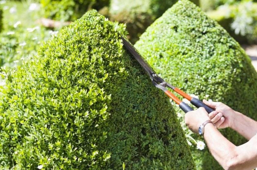 Посадка, выращивание и обрезка можжевельника – советы для начинающих