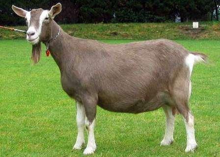 Тоггенбургская коза: содержание и уход